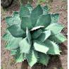 Agawa tytanowa niebieska (Agave titanota 'Blue') nasiona - wyjątkowe białe kolce