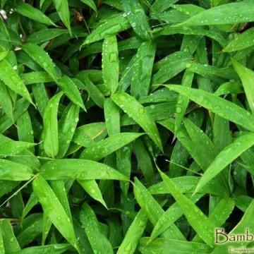 Sasaella gałęzista (Sasaella ramosa/Pleioblastus vagans) - zdjęcie poglądowe