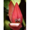 Banan rubinowy (Musa rubinea) 5 nasion