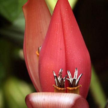 Banan rubinowy (Musa rubinea) nasiona