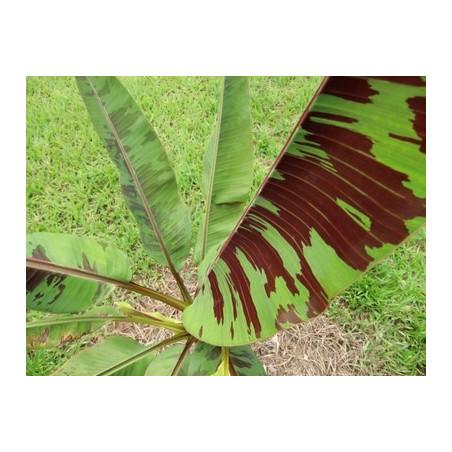 Banan zebrina (Musa acuminata ssp. zebrina) 5 nasion
