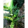 Bananowiec Sikkim (Musa sikkimensis) 5 nasion
