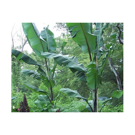 Banan Thai Black (Musa balbisiana 'Atia Black') 5 nasion