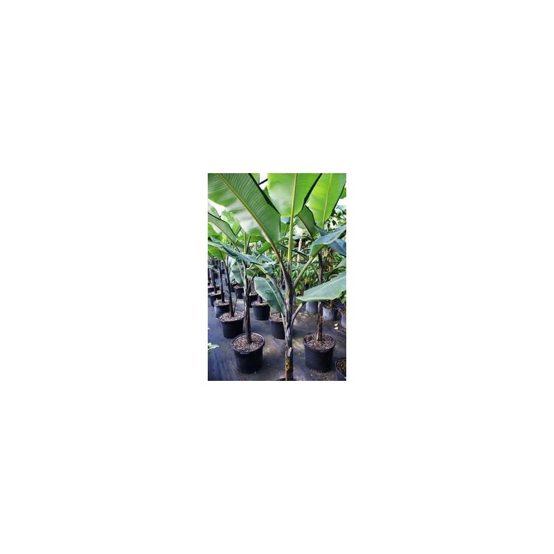 Banan Thai Black (Musa balbisiana 'Atia Black') nasiona