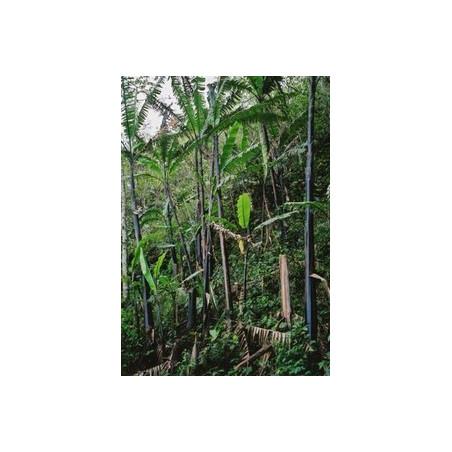 Banan nagensium (Musa nagensium) 5 nasion