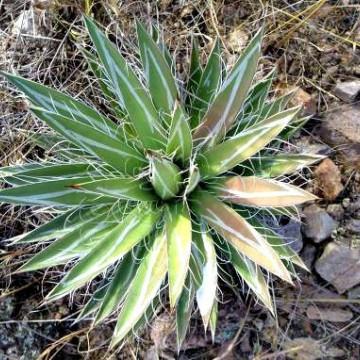 Agawa gęstokwiatowa (Agave densiflora) 5 nasion