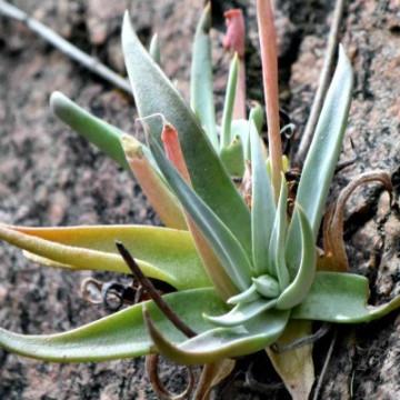 Agawa trójątna (Agave trangularis var. subintegra) nasiona