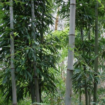 Czarny bambus 'Henonis' (Phyllostachys nigra 'Henonis') zdjęcie poglądowe