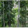 Czarny bambus 'Henonis' (Phyllostachys nigra 'Henonis') 2,5 l