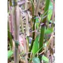 Fylostachys złotobruzdowy (Phyllostachys aureosulcata 'Spectabilis') 2,5 l