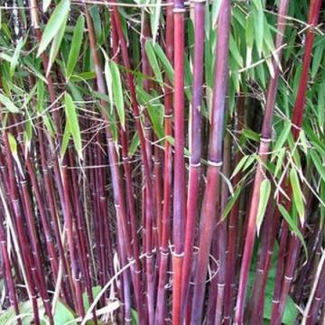 Czerwony bambus (Fargesia jiuzhaigou 1) 2,5 l