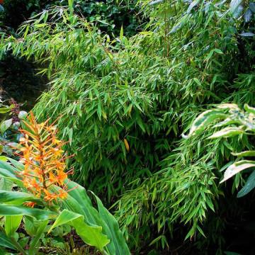 Bambus parasolowaty (Fargesia murielae) 2,5 l