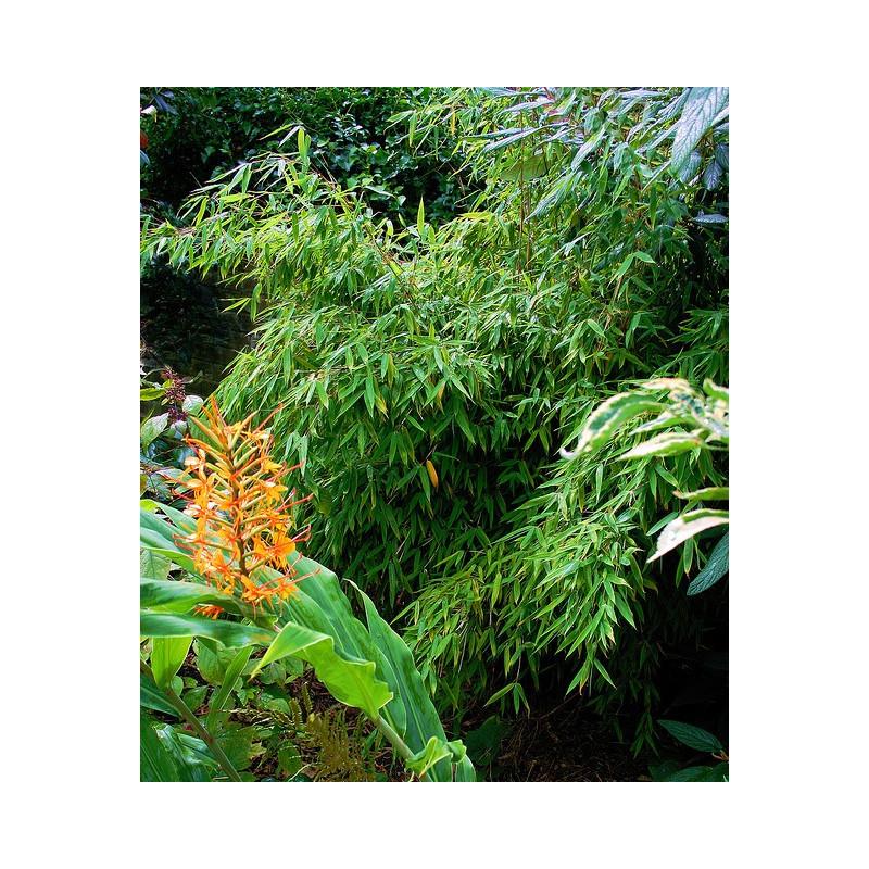Bambus parasolowaty fargesia murielae