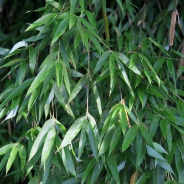 Fargesia naga (Fargesia denudata 'Xian 2') 2,5 l