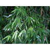 Fargezja naga (Fargesia denudata 'Xian 2') 5 l