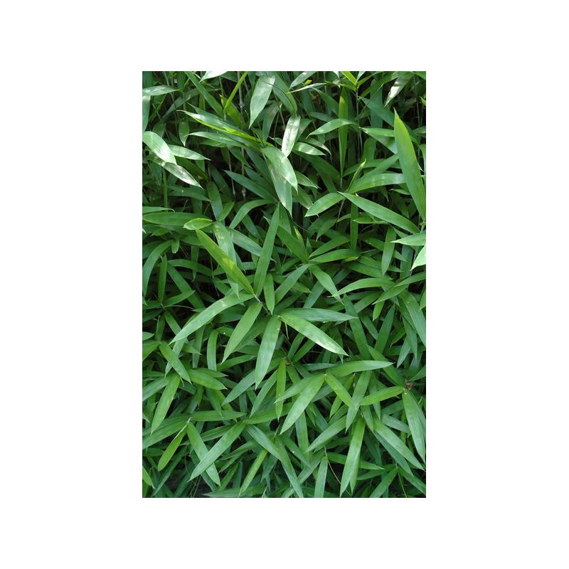 Pleioblast niski (Pleioblastus pumilis)