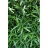 Pleioblast niski (Pleioblastus pumilis) 2l