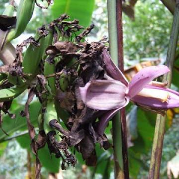 Bananowiec Chuna (Musa chunii) 5 nasion