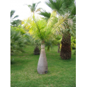 Hioforba butelkowa, palma butelkowa (Hyophorbe lagenicaulis) - 5 nasion palmy