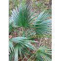 Palma sabalowa (Sabal minor 'Cherokee') - 5 nasion palmy
