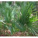 Palma sabalowa (Sabal minor 'Cherokee') - nasiona palmy