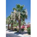 Waszyngtonia 'Filibusta' hybryda (Washingtonia sp. 'Filibusta') - nasiona palmy