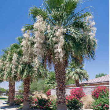 Waszyngtonia 'Filibusta' hybryda (Washingtonia sp. 'Filibusta') - nasiona palmy