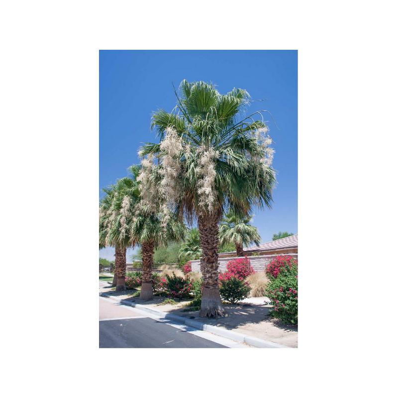 Waszyngtonia 'Filibusta' hybryda (Washingtonia sp. 'Filibusta') - 5 nasion palmy