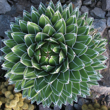 Agawa Królowej Wiktorii (Agave victoriae-reginae subsp. swobodae 'Compacta') 5 nasion