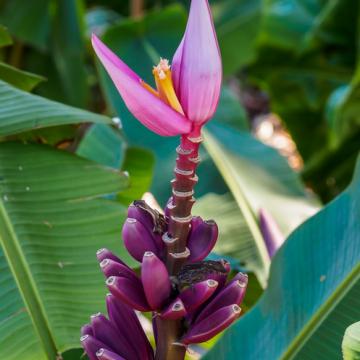 Fioletowy banan królewski (Musa ornata Purple) 5 nasion