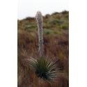 Puja - Maczuga Herkulesa (Puya clava-herculis) 5 nasion
