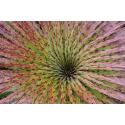 Puja - Maczuga Herkulesa (Puya clava-herculis)  nasiona