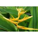 Helikonia (Heliconia librata) - nasiona