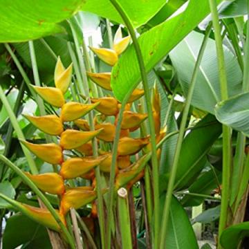 Helikonia 'Maya Gold' (Heliconia champneiana 'Maya Gold') nasiona
