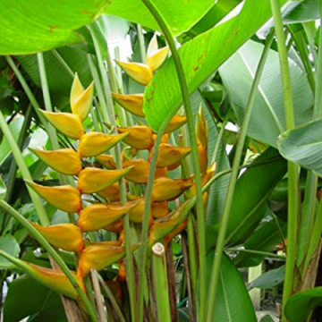Helikonia 'Maya Gold' (Heliconia champneiana 'Maya Gold') 5 nasion