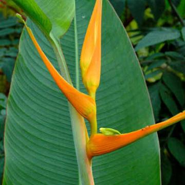 Helikonia (Heliconia latispatha) nasiona