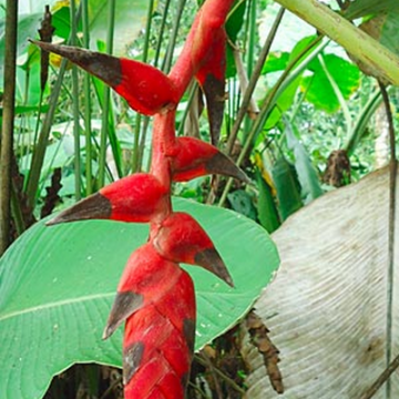 Helikonia (Heliconia nigripraefixa) nasiona