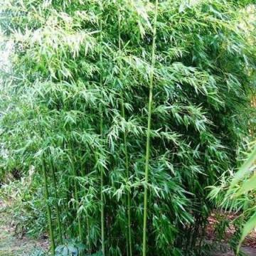 Brązowy bambus - Fylostachys niski (Phyllostachys humilis) 30-50 cm