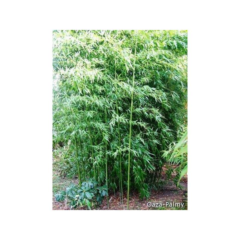 Brązowy bambus - Fylostachys niski (Phyllostachys humilis) - zdjęcie poglądowe