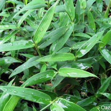 Plejoblastus karłowaty (Pleioblastus pygmaeus) bambus okrywowy sadzonka