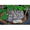 Pochrzyn słoniowy, roślina żółw (Dioscorea elephantipes) 5 nasion