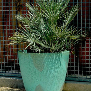 Karłatka niebieska (Chamaerops humilis 'Cerifera') bujna i łatwa w uprawia
