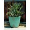 Karłatka niebieska (Chamaerops humilis 'Cerifera') bujna i łatwa w uprawia nasiona