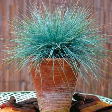 Kostrzewa sina (Festuca glauca) sadzonka