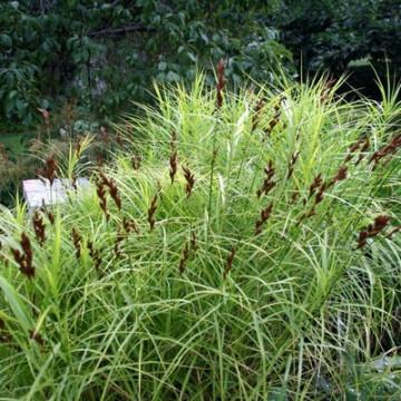Turzyca muskegońska (Carex muskingumensis)
