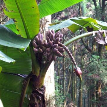 Banan himalajski (Musa itinerans var. formosana)  nasiona
