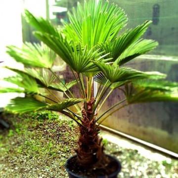 Szorstkowiec Wagnera (Trachycarpus wagnerianus) nasiona