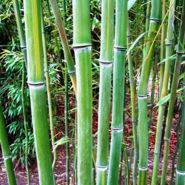 Fylostachys długowieczny (Phyllostachys vivax  'Huanwhenzhu') 2,5 l