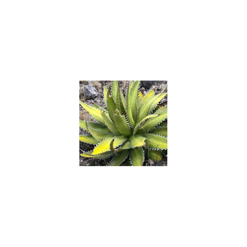Agawa Ząb Rekina (Agave megaodonta) 5 nasion