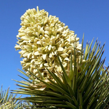 Drzewo Jozuego (Yucca brevifolia var. jaegeriana) nasiona